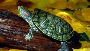 巴西龟可以放生吗